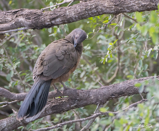 Plain Chachalaca found at Bentsen-Rio Grande State Park in January 2018