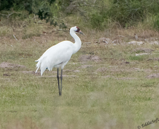 Whooping Cranes in Rockport, Texas December 2017
