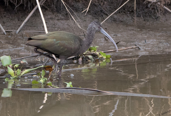Glossy Juvi Ibis found at Anahuac NWR in December 2017