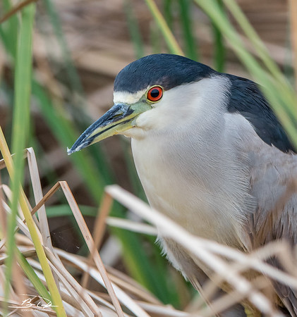 Black-Crowned Night-Heron found at South Padre Island Bird Viewing and Nature Center, Texas December 2017