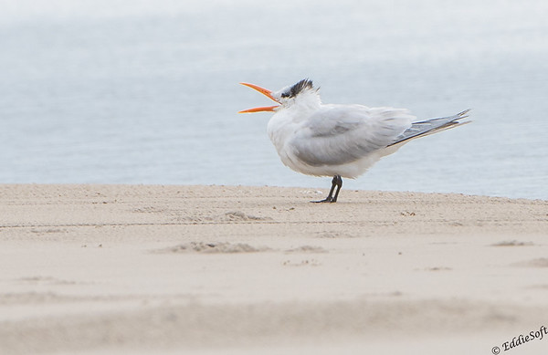 Royal Tern found on Galveston Island, TX in December 2017