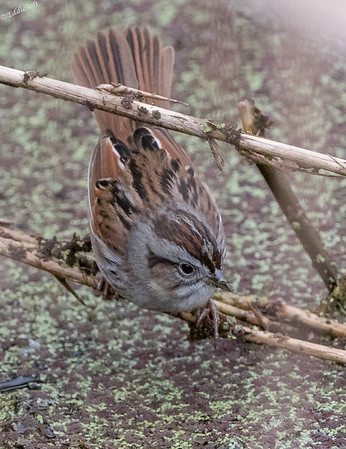 Swamp Sparrow found at Anahuac National Wildlife Refuge Texas December 2017