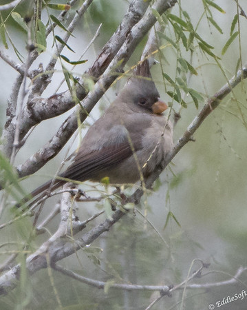 Pyrrhuloxia found at Harlingen Thicket World Birding Center, Harlingen Texas in January 2018