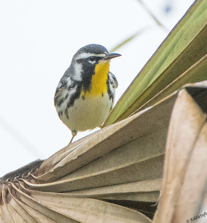 Yellow-Throated Warbler found at Sabal Palm Sanctuary, Brownsville, Texas in December 2017