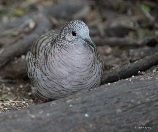 Inca Dove found at Valley Birding Center in Weslaco, Texas January 2018