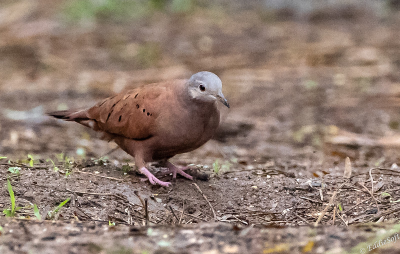 Ruddy Dove found at Bentsen-Rio Grande Valley State Park, Mission, TX in January 2021
