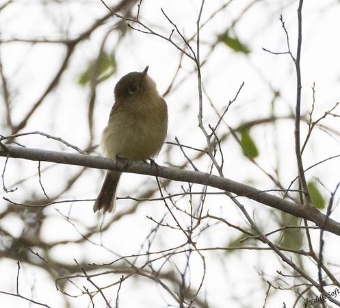 Pacific-Slope Flycatcher found at Quinta Mazatlan, McAllen, TX in January 2021