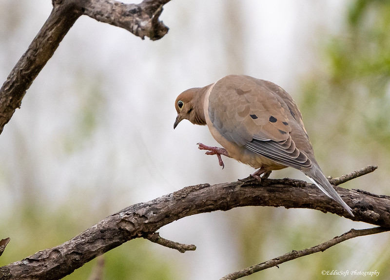 Mourning Dove found at Bentsen-Rio Grande Valley State Park in January 2021