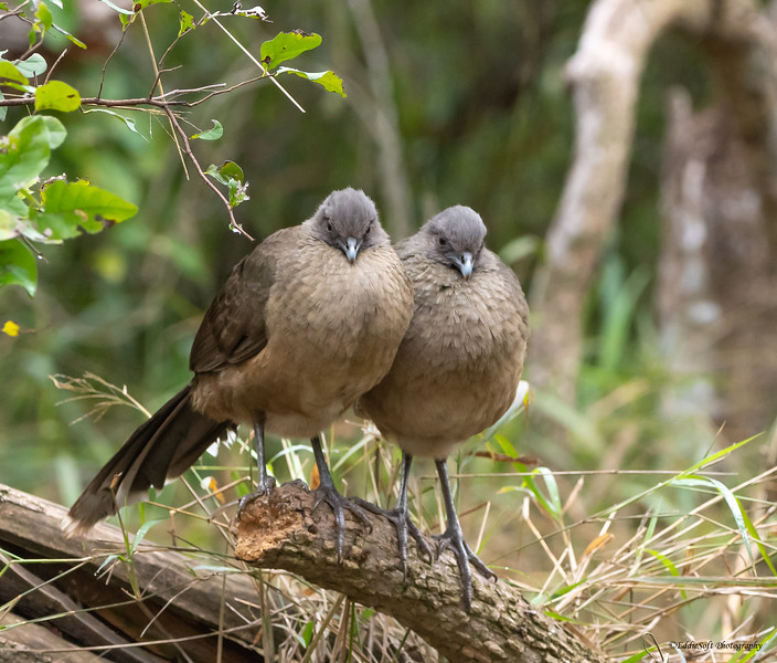 Plain Chachalaca found at Bentsen Rio Grande State Park in January 2021