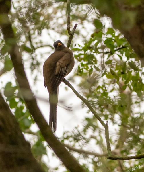 Female Elegant Trogon found at Estero Llano Grande State Park, Weslaco TX in January 2021
