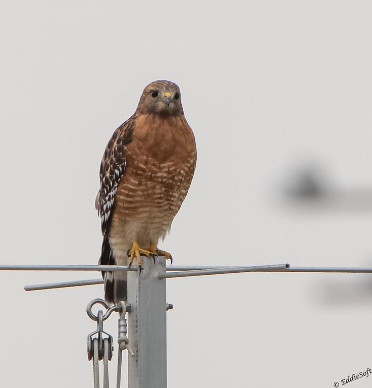 Red-Shouldered Hawk found at Quinta Mazatlan, McAllen, TX in January 2021