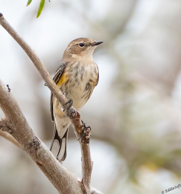 Immature Yellow-Rumped Warbler found at Quinta Mazaltan, McAllen TX in January 2021