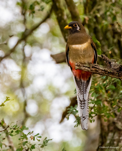 Female Elegant Trogon found at Estero Llano Grande State Park, Weslaco TX in January 2021