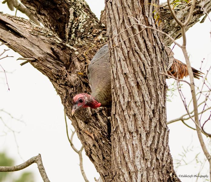 Wild Turkey found at Bentsen-Rio Grande Valley State Park, Mission, TX in January 2021