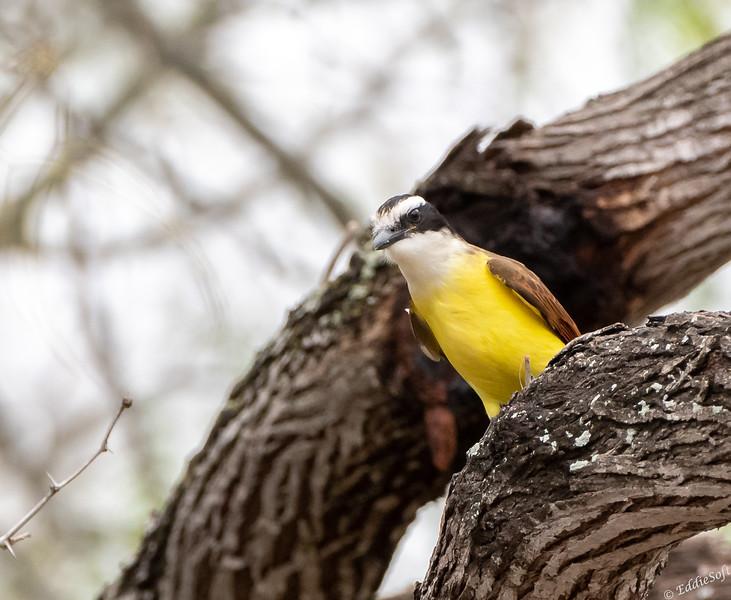 Great Kiskadee found at Bentsen-Rio Grande Valley State Park in January 2021