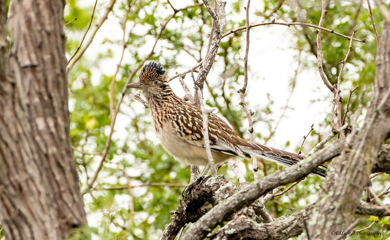 Greater Roadrunner found at Bentsen-Rio Grande Valley State Park in Mission, Texas in January 2021
