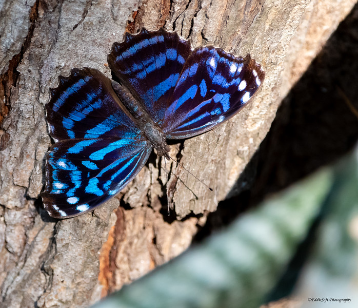 Mexican Bluewing found at Estero Llano Grande State Park, Weslaco, Texas in January 2021