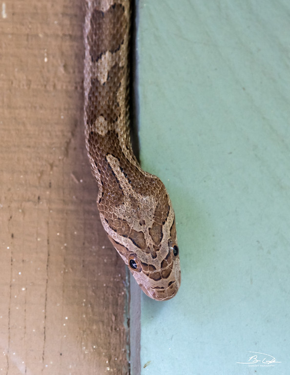 Grey Rat Snake found at Estero Llano State Park, Weslaco, Texas in January 2021