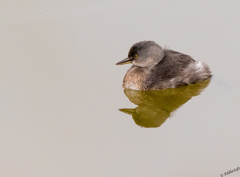 Least Grebe found at Bentsen-Rio Grande Valley State Park January 2021