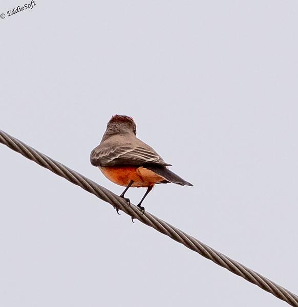 Immature Vermilion Flycatcher found at Bentsen-Reio Grande Valley State Park, Mission TX in January 2021