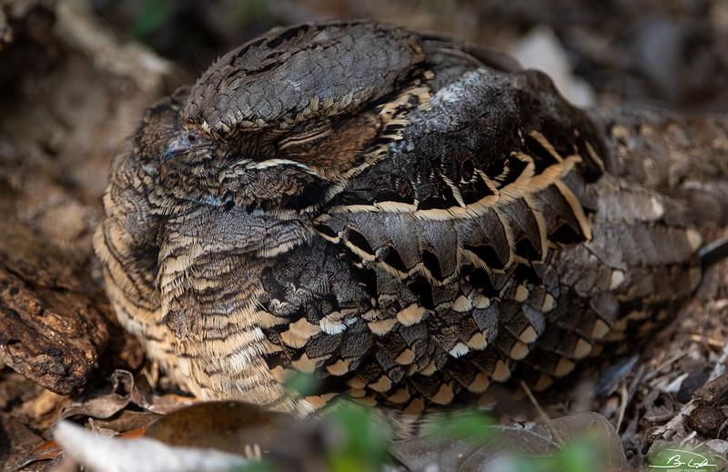 Common Pauraque found at Estero Llano Grande State Park, Weslaco, TX in January 2021
