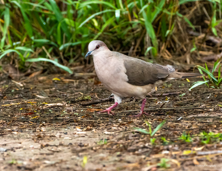 White-Tipped Dove found at Bensten-Rio Grande Valley State Park in January 2021