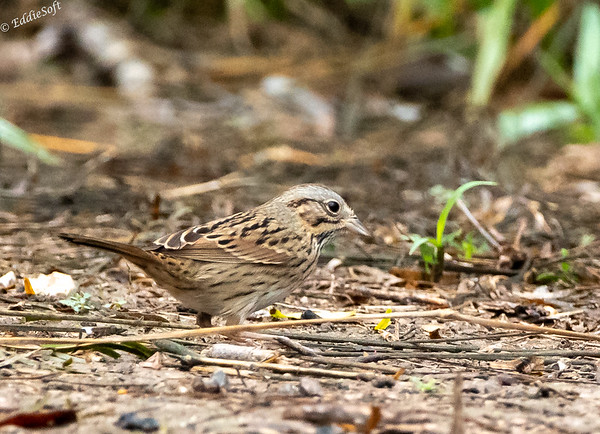 Lincoln's Sparrow found at Bentsen-Rio Grande Valley State Park in January 2021
