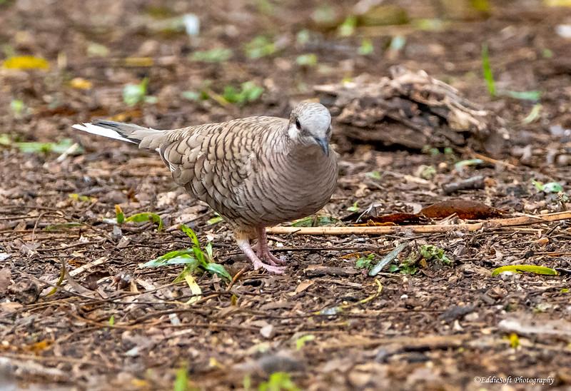 Inca Dove found at Bentsen-Rio Grande Valley State Park in January 2021