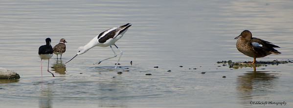 American Avocet shot at Henderson Bird Viewing Preserve, Henderson NV, August 2013