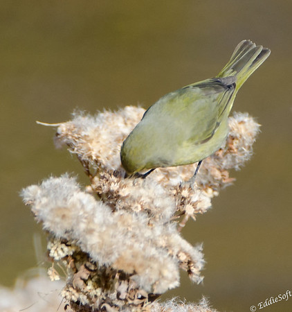 Orange-Crowned Warbler Shot at Henderson Wildlife Viewing Preserve in December 2014