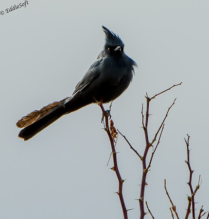 Phainopepla shot at Corn Creek on edge of Mojave Desert, Nevada in December 2014