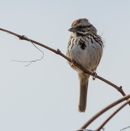 Song Sparrow shot in Baraboo Wisconsin April 2014