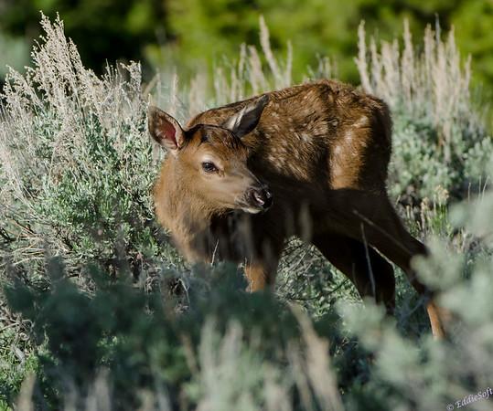 Elk shot at Yellowstone National Park in May 2013