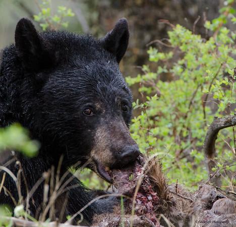 Black Bear shot at Yellowstone National Park in May 2013