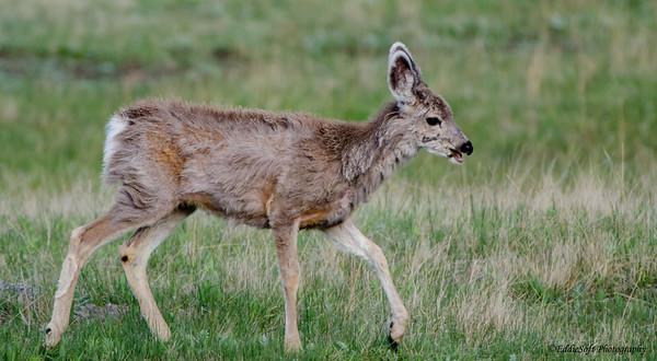 Mule Deer shot at Yellowstone National Park May 2013